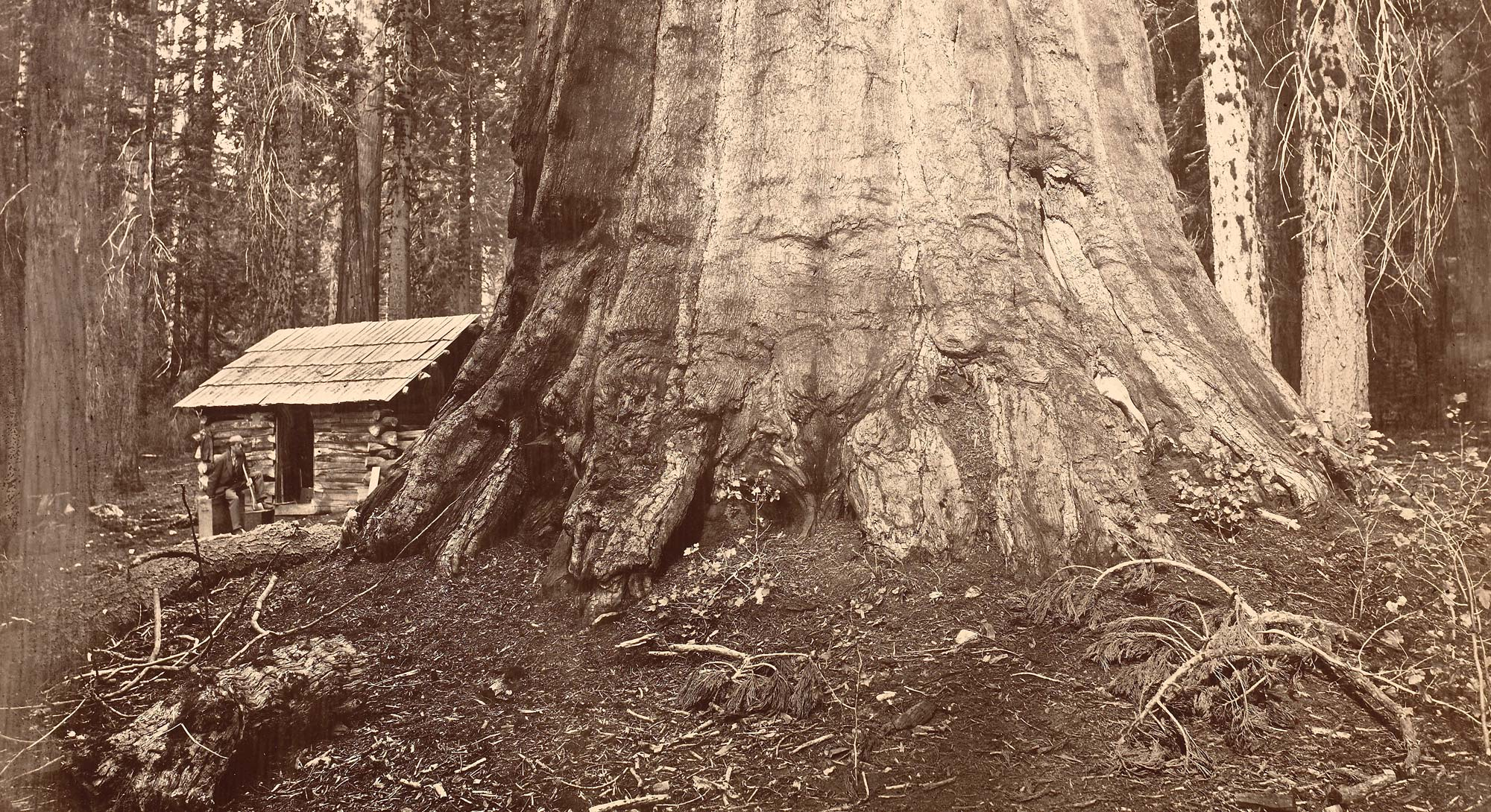 Eadweard Muybridge, Wm. H Seward, 85 Feet in Circumference. Mariposa Grove of Mammoth Trees, No. 51, 1872. Albumen silver print mounted to card stock, 16 15/16 x 21 9/16 in. (43 x 54.7 cm) (image). FAMSF, gift of Mrs. Raymond Perkins, 42854.1